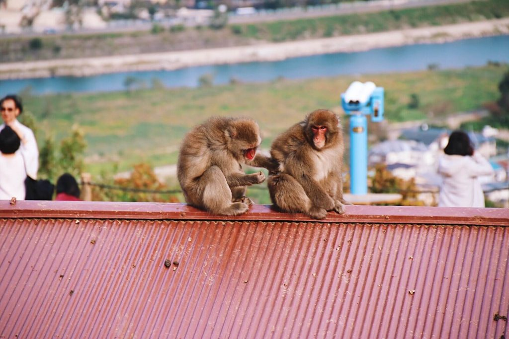 Iwatayama Monkey Park, two day kyoto itinerary