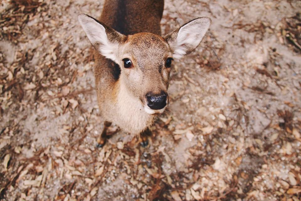 nara deer park, things to do in nara japan