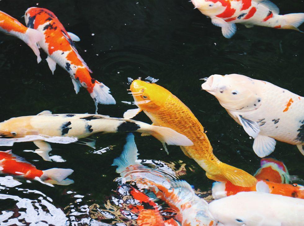 koi fish outside sensoji temple tokyo japan
