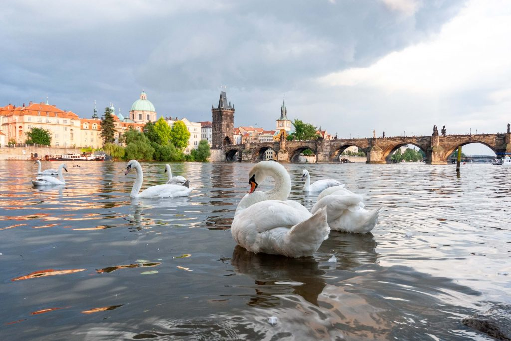 swans on the vltava prague photography spot