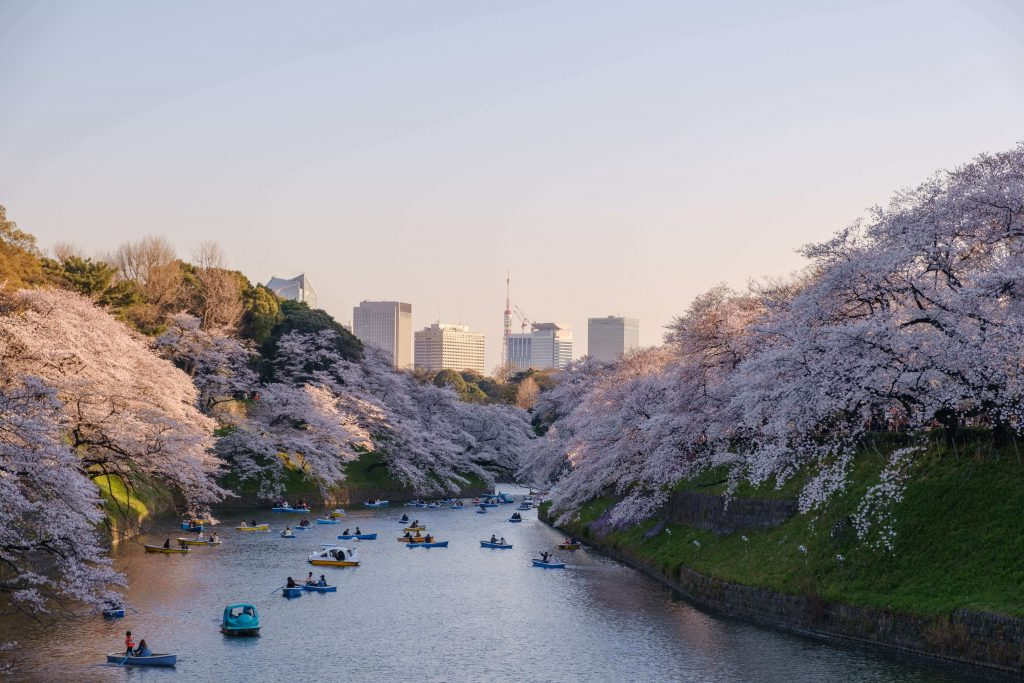 hanami cherry blossom festival in japan